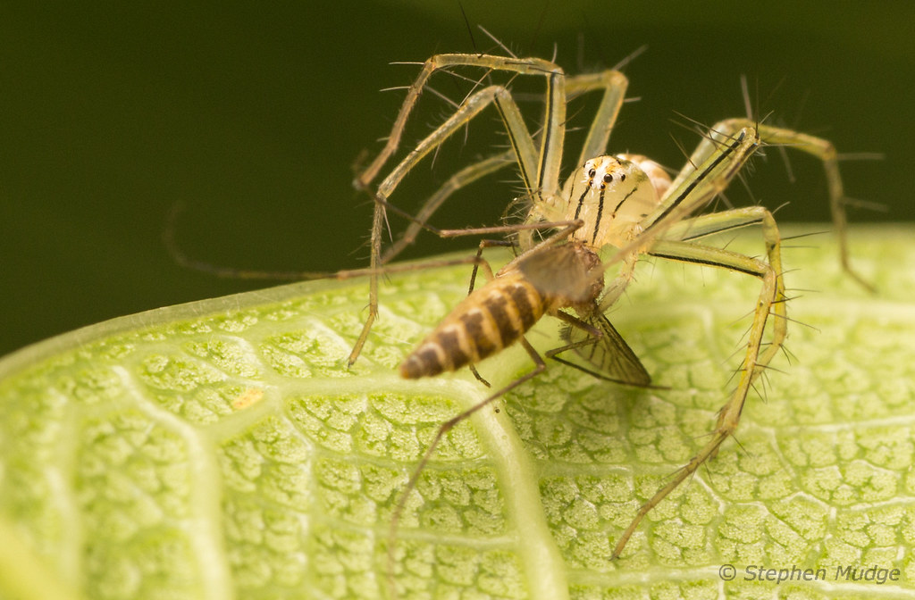 Young Lynx Spider with prey