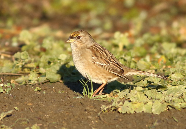 Golden-crowned Sparrow, Canon EOS 7D, EF400mm f/5.6L USM