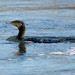 Cormorán grande (Phalacrocorax carbo) / Great cormorant
