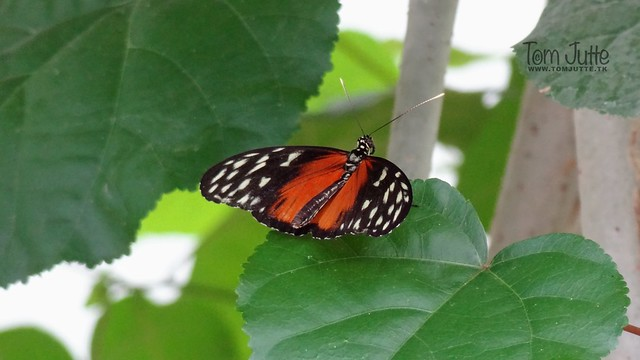 Heliconius Hecale Butterfly, Mangrove, Burgers Zoo, Netherlands - 5406