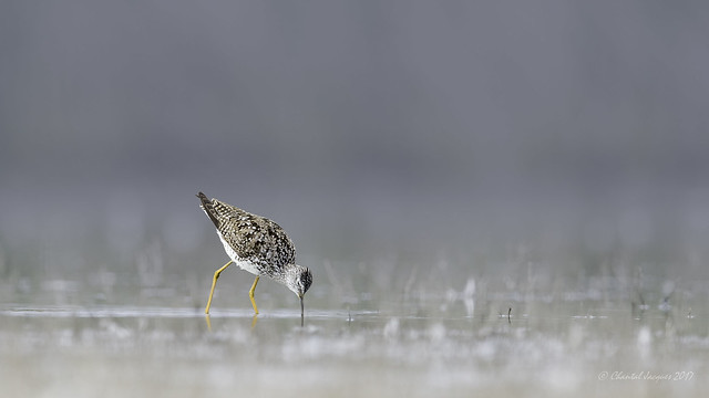 Birding Calgary- Lesser or Greater Yellowlegs