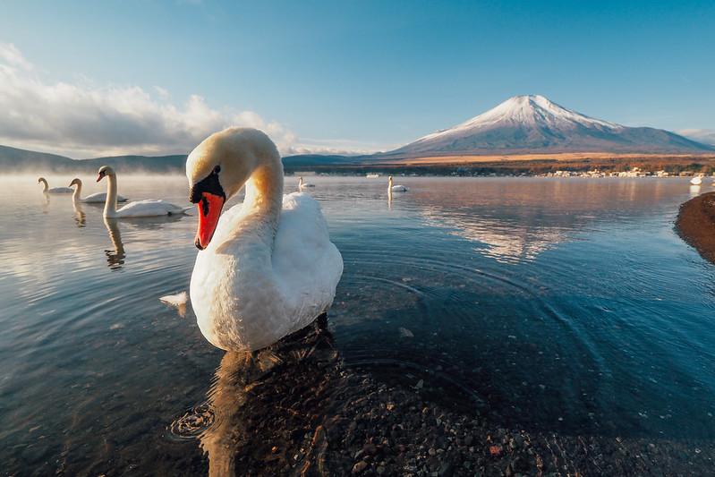 天鵝|山中湖 Yamanakako