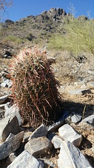 A beautiful fishhook barrel cactus