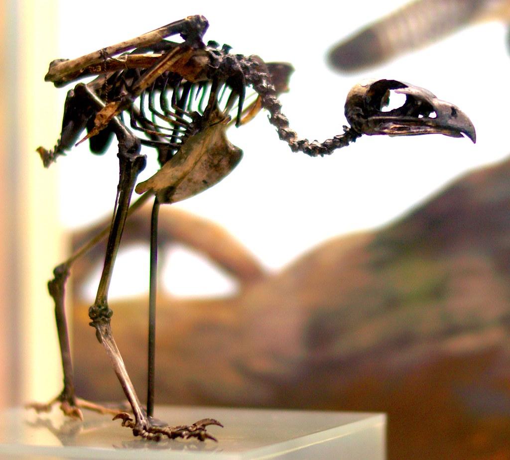 Fossil La Brea Caracara