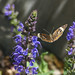 Salvia with butterfly by cgus51@sbcglobal.net