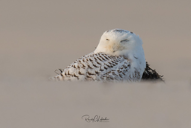 Snowy Owls of New Jersey   2017 - 25 [EXPLORED]