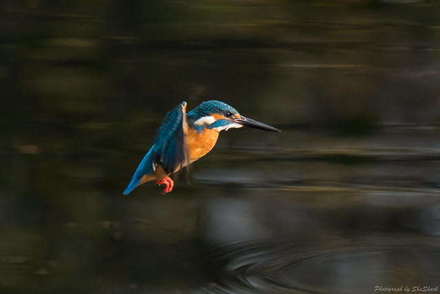 20171216-kingfisher-DSC_0819