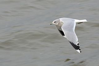 Common Gull, Musselburgh, East Lothian, Scotland