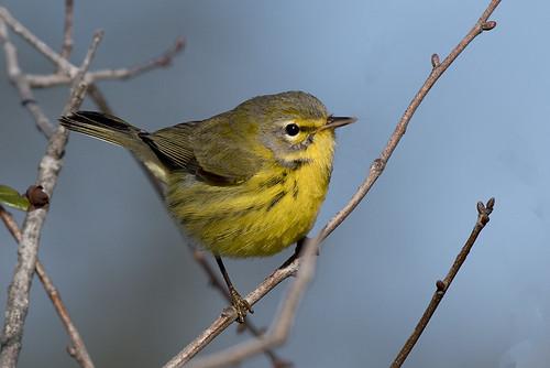 Merritt Island, FL: Prairie Warbler on Scrub Jay trail