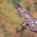 """""""In The Bowl"""" (Red-Tailed Hawk) by Mitch Vanbeekum Photography"""