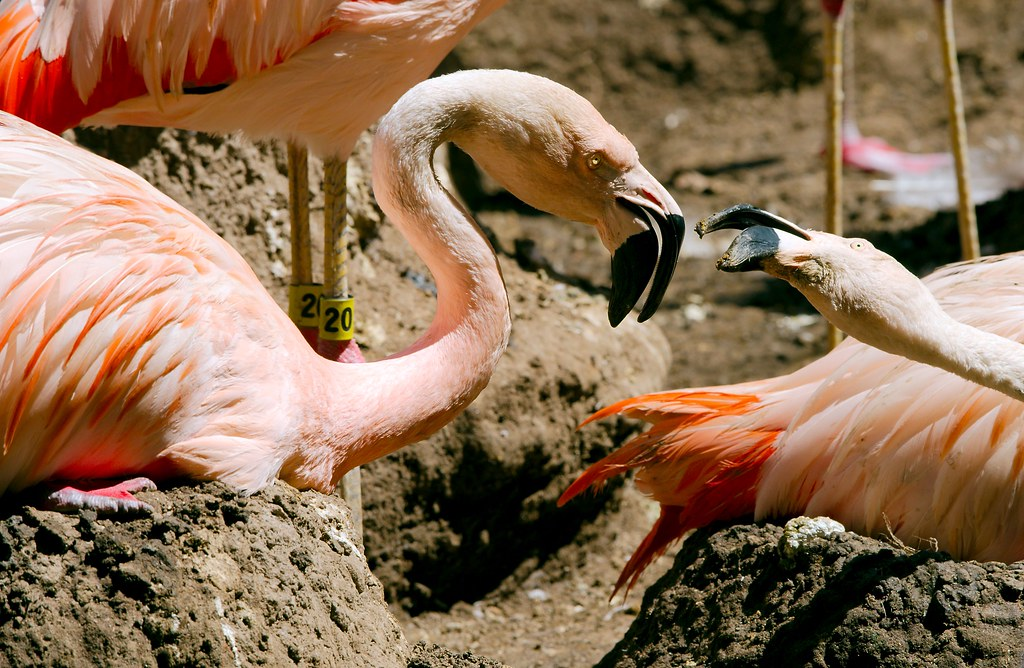 Chilean Flamingo_2