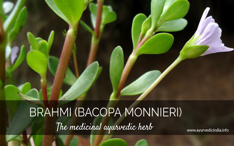 5 Health Benefits of Brahmi (Bacopa Monnieri) Uses & Dosage