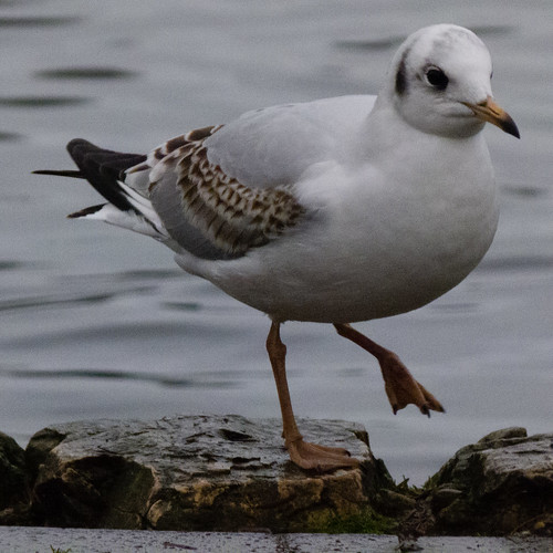 Black-headed gull stepping out