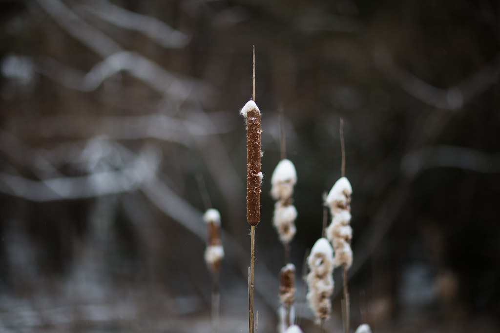cold cattails