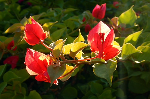 Red Bougainvillea Flower