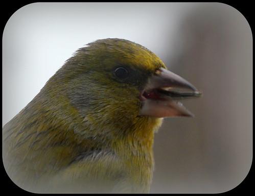 les visiteurs à plumes sauvages  2 - Page 13 24347299837_56737243e0
