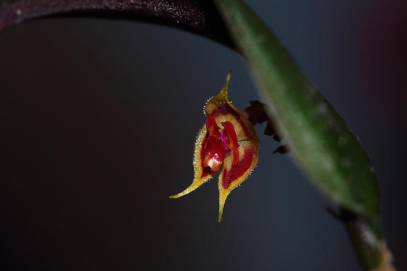 Miniatur-Orchideen Teil 4 24463182277_0244c6b14b_c