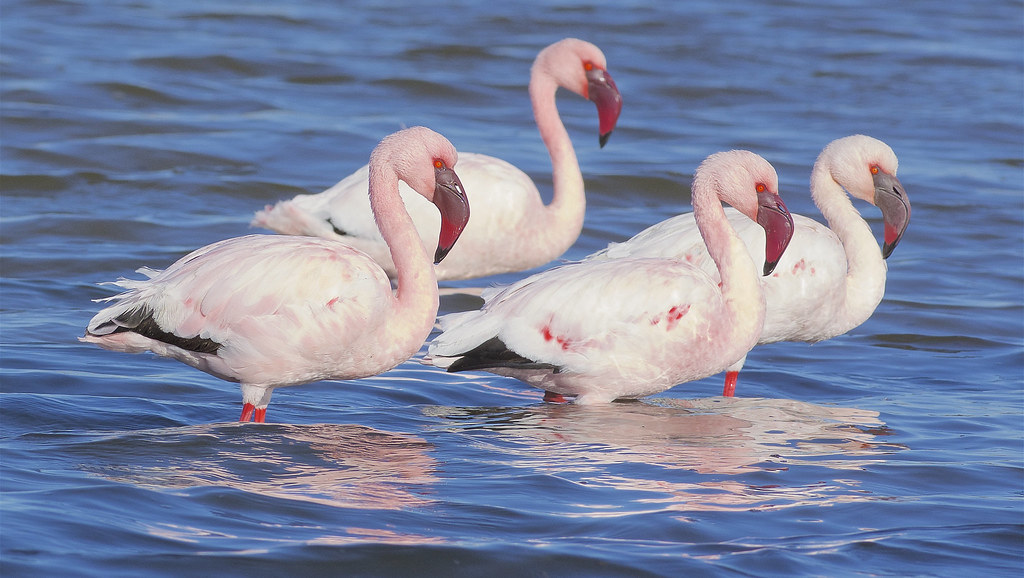 A group of lesser flamingoes
