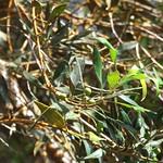 Olea europaea ssp. cuspidata leaf and fruit