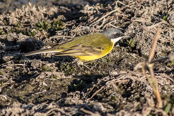 Yellow Wagtail - race cinerocapilla