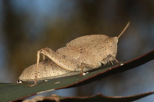 Gumleaf Grasshopper nymph