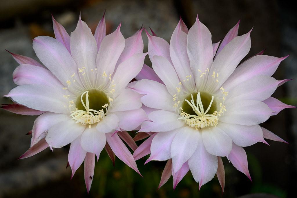 20171218_Cactus_Flowers