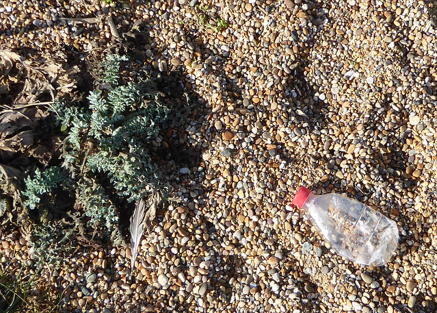Bottle and Yellow Horned-Poppy, Cogden Beach
