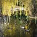 Ducks, Parsloes Park