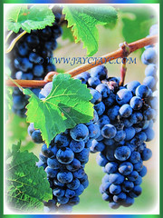Vitis vinifera (Common Grape Vine, Wine Grape, Purpleleaf Grape, Anggur in Malay) with cluster of dark purple fruits, 7 Dec 2017