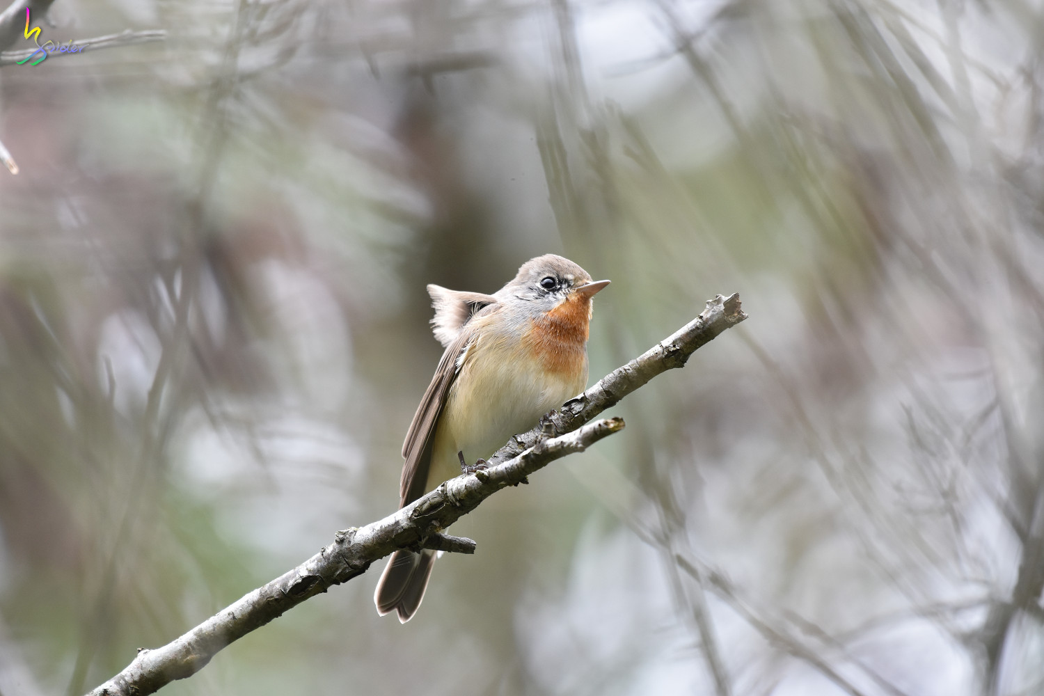 Red-breasted_Flycatcher_1140