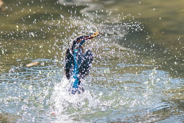 20171225-kingfisher-DSC_2739