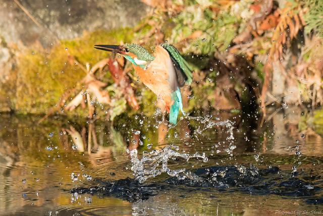 20171225-kingfisher-DSC_2110