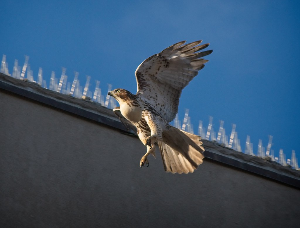 Christmas hawk