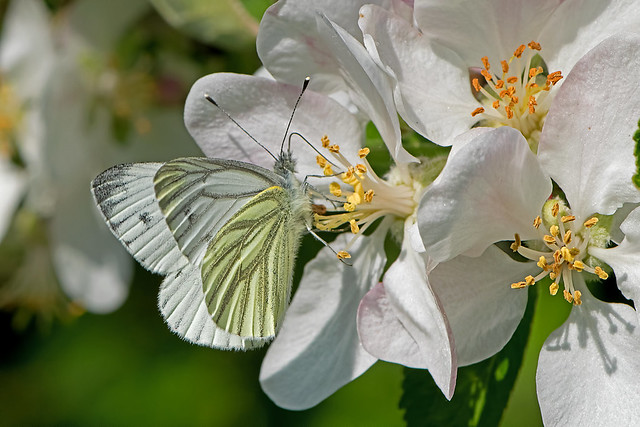 Pieris napi - the Green-veined White