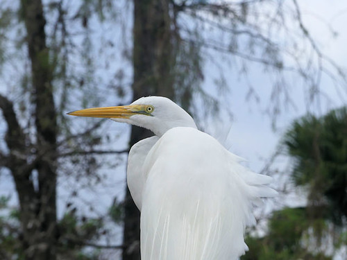Great Egret at Gatorland