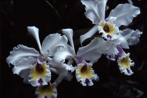 Orchids - Kodachrome - 1987