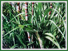 Arching and rich green leaves of Saccharum officinaruma (Sugarcane, Sugar Cane, Tebu in Malay), 5 Dec 2017