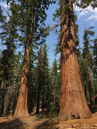 Sequoias in the Tuolumne Grove, Yosemite National Park, California. Courtesy of Ben Churchill