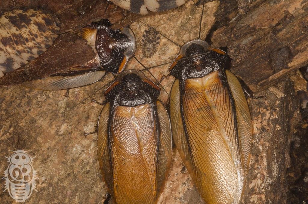 Phortioeca_phoraspoides_0005_Xenoblatta