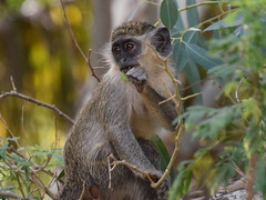 A monkey just outside Kotu, Gambia