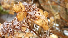 Freezing rain on dead hydrangeas