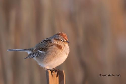 Bruant hudsonien, American Tree Sparrow