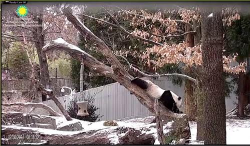 Panda TianTian