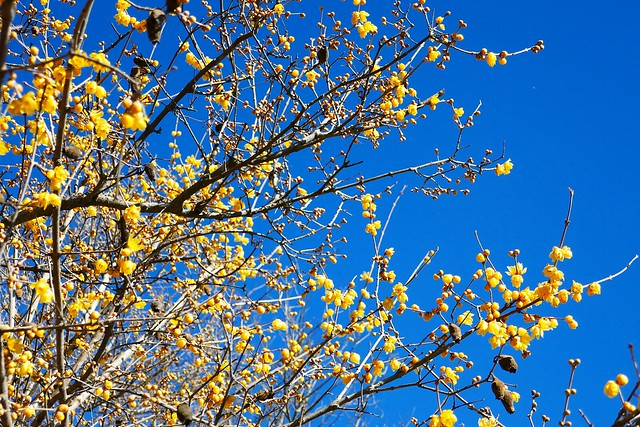 Nagatoro_Wintersweet_(2018_01_02)_1_resized_1 蝋梅の木を撮影した写真。 濃い黄色の花を沢山咲かせている。 枝には枯れて茶色く萎れた実が幾つか残っている。
