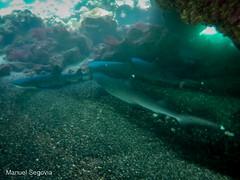 Tiburón de Galápagos