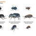darkling beetles.pages