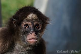 Mono Araña De Pelo Largo _MG_5091