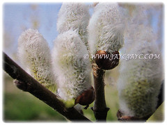 Mesmerising soft and white catkins of Salix bicolor (American Pussy Willow, American Willow, Large Pussy Willow, Pussy Willow, Glaucous Willow), 4 Jan 2018