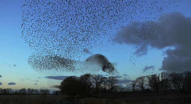 A little murmuration from tonight out on the levels...