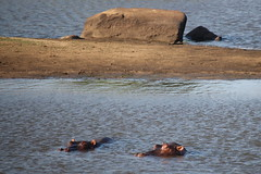 Timbavati Private Nature Reserve - Hippo